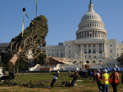 Capitol Grounds staff maneuvers the massive Capitol Christmas tree into place on the West Front Lawn of the Capitol.